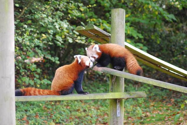 redpandaandcub25130848.jpg